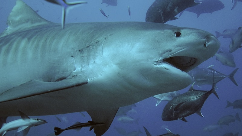 It's Official! Sharks Love Maui, Too!