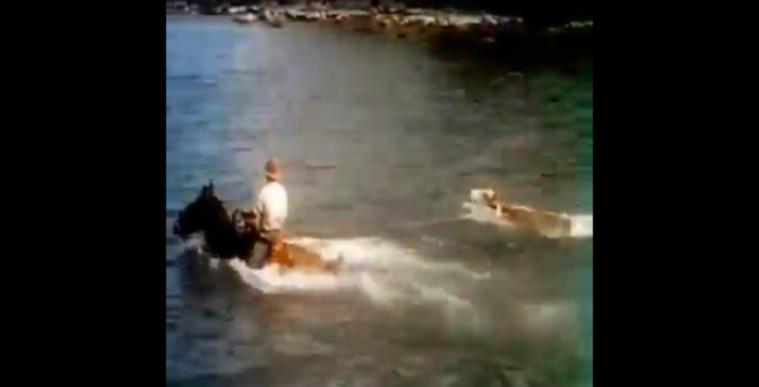 cowboys bringing cattle into the ocean