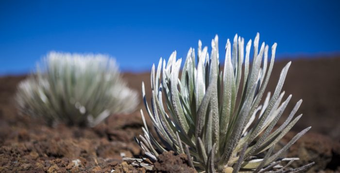 a silversword plant on haleakala on maui