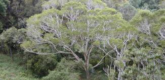 a koa forest