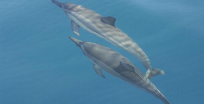 2 spinner dolphins underwater