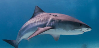tiger shark in the water