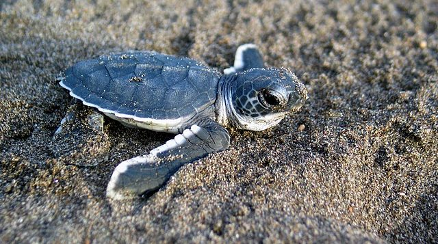 Baby sea turtle on the sand