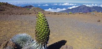 Silver sword plant at Haleakala