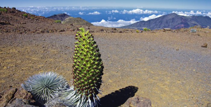 Silver sword plant at Haleakala