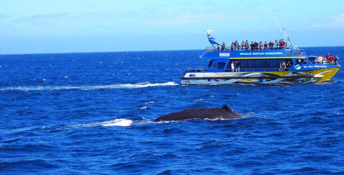 Whale near a tour boat