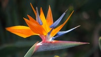 Bird of paradisce