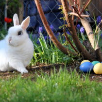 Bunny next to Easter eggs