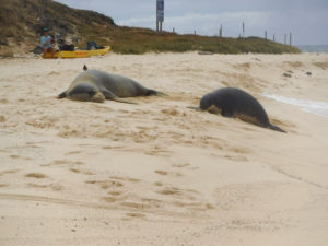 After kayaking to Moku Nui, we saw a monk seal and her pup laying on the beach.