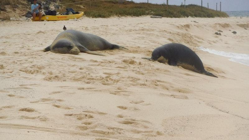 Respecting Monk Seals when visitng Hawaii's beaches