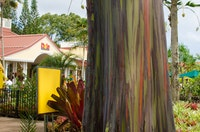 Don't miss these brightly colored rainbow eucalyptus trees during your visit to the Dole Plantation.