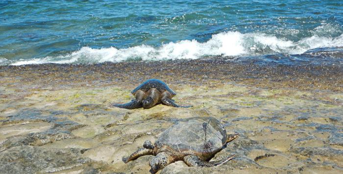 Hawaiian Green Sea Turtles basking in the sun at Laniakea Beach.