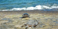 Hawaiian Green Sea Turtles basking in the sun at Laniakea Beach.