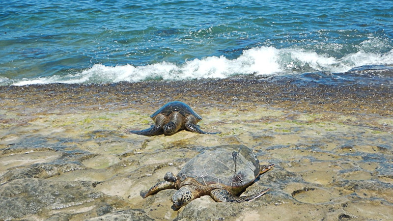 Where And When To See Turtles On Oahu