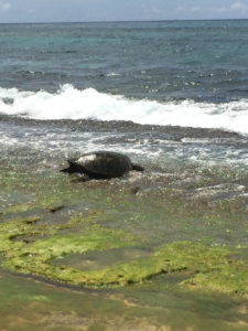 It's usually easy to spot turtles at Laniakea Beach!