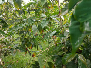 Touring a Kona Coffee Farm was one of my favorite things on the Big Island - and it was free!