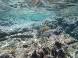 Check out that crystal clear water! Look for the rainbow wrasse when snorkeling at Sharks Cove - this brightly colored fish is my favorite, and there's lots of them here.