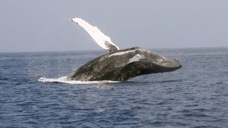 It's almost whale watching season! Here's how to see whales in Hawaii