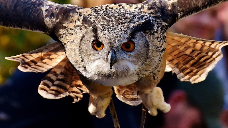"""Owls in Hawaii? """"Who"""" knew?"""