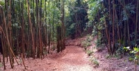 Manoa Bamboo
