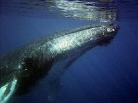 Humpbacks of Hawaii