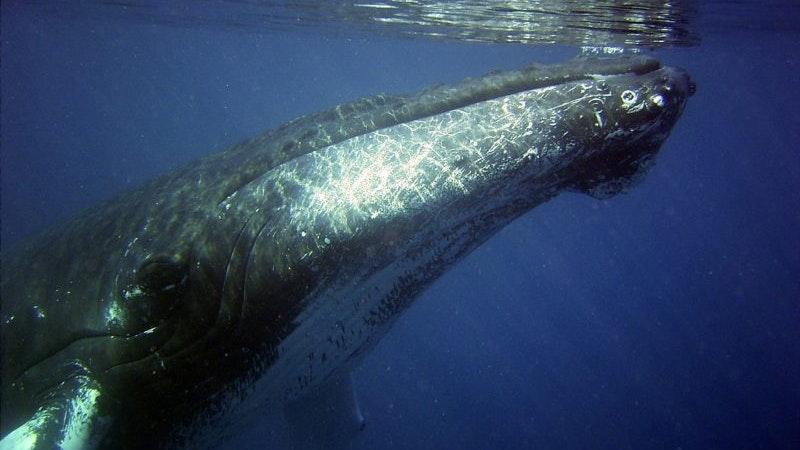 Humpbacks of Hawaii in 3D at Maui Ocean Center