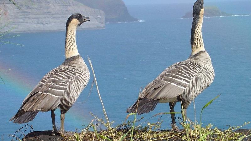 Great news for Hawaii bird watching