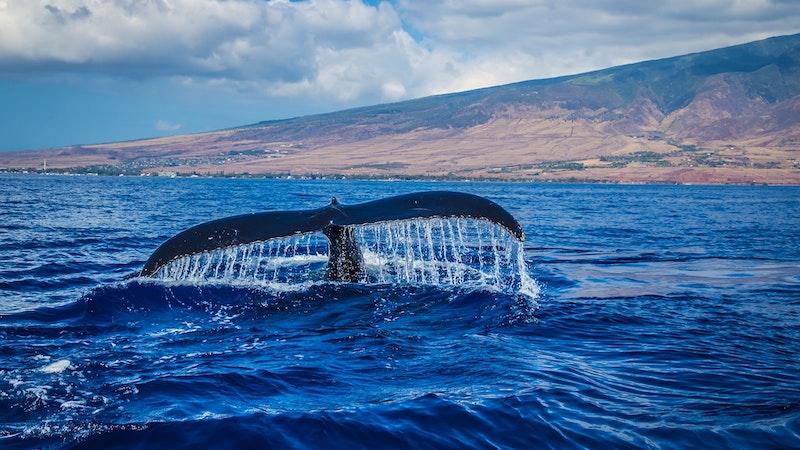 Hawaii humpback whales return